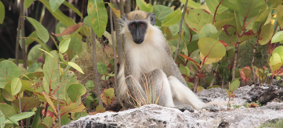 photo of a green monkey, native to barbados